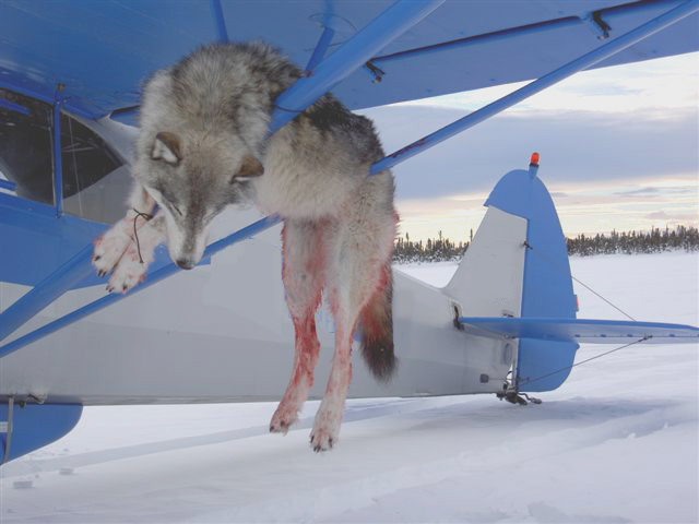 http://change-production.s3.amazonaws.com/photos/wordpress_copies/animalrights/2009/03/wolf_and_plane.jpg
