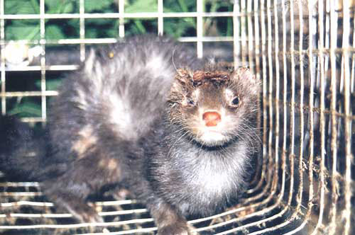 peta fur fashion disgusting fur farms cruel sick outlawed